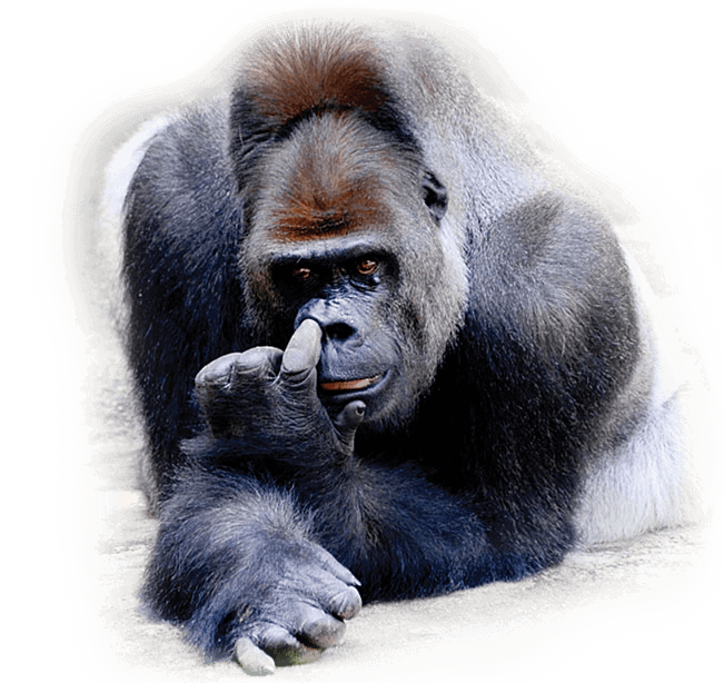 gorilla picking nose