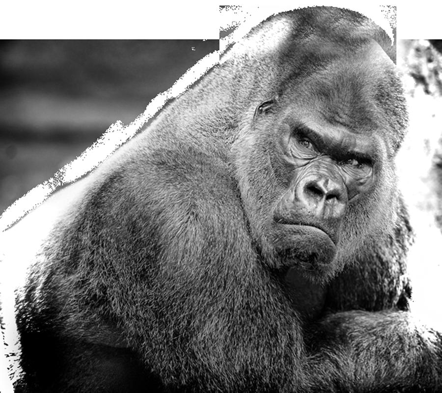 Silverback Gorilla Brand Page 2