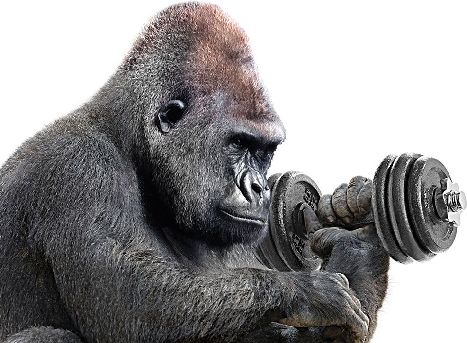 gorilla lifting weights